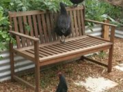 Free range chickens help keep pests under control.